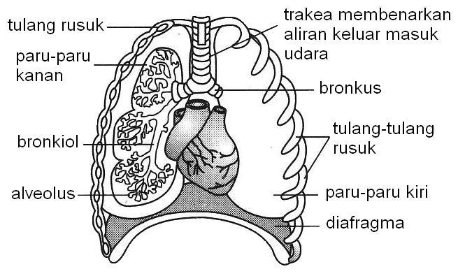 Nota Ringkas Sains Tingkatan 3 Yang Bernilai Science Form 3 Pt3 Chapter 1 1 1 Mekanisma Pernafasan Manusia Skoloh