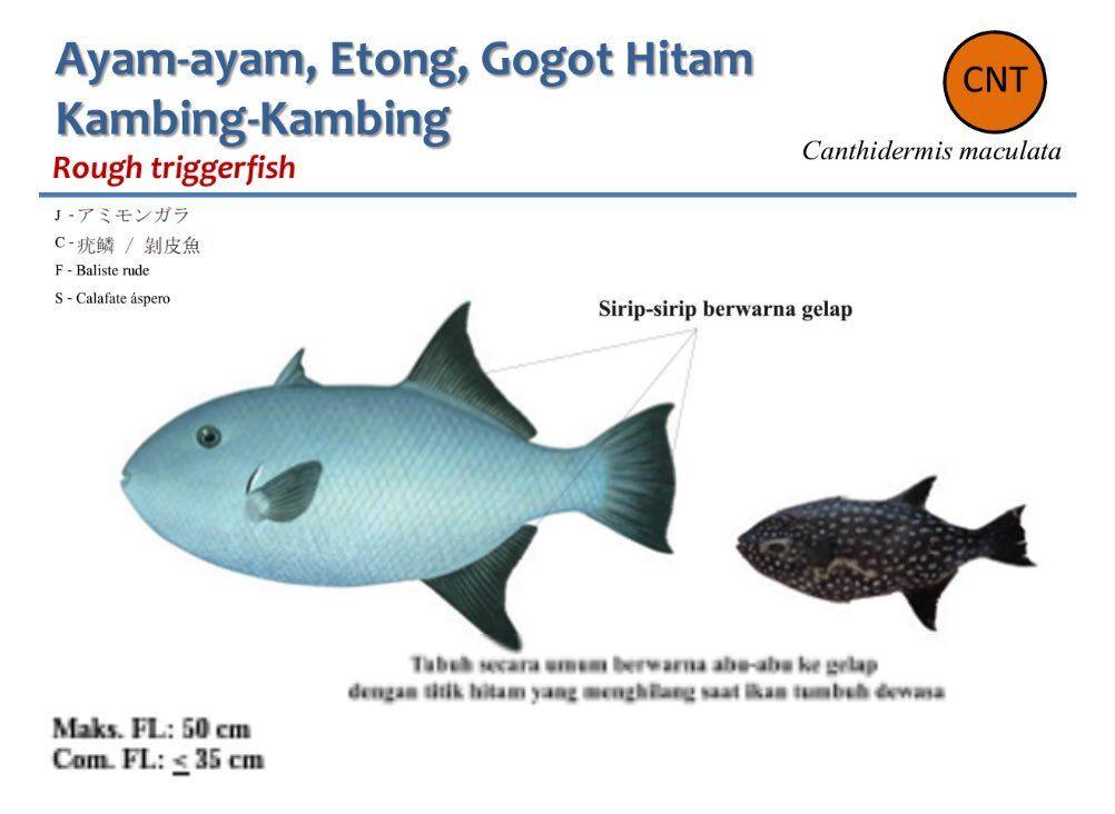 Mewarna Ikan Hebat Dit Pengelolaan Sumberdaya Ikan Kkp O U U Oau U Oao Nah Kang Ajo Ini