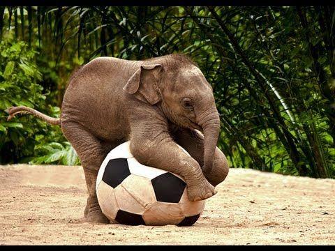 dibandingin sama binatang lain otak gajah emang salah satu yang paling gede ternyata dengan otaknya yang gede itu gajah juga jadi salah satu hewan yang