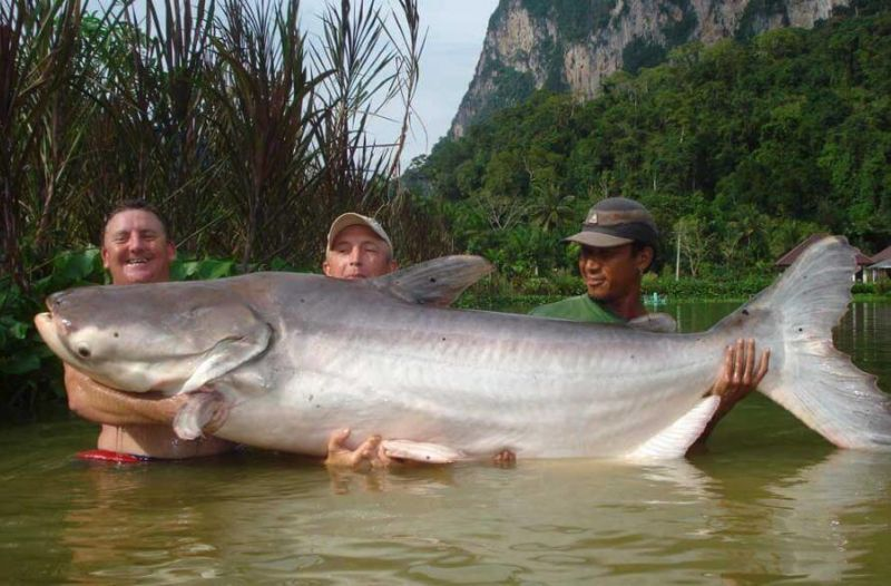 lele raksasa dari sungai mekong